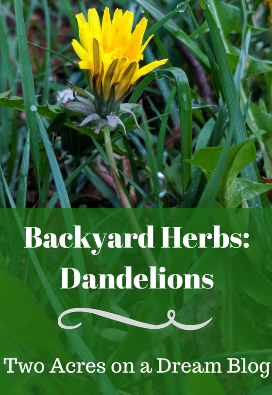 backyard dandelion