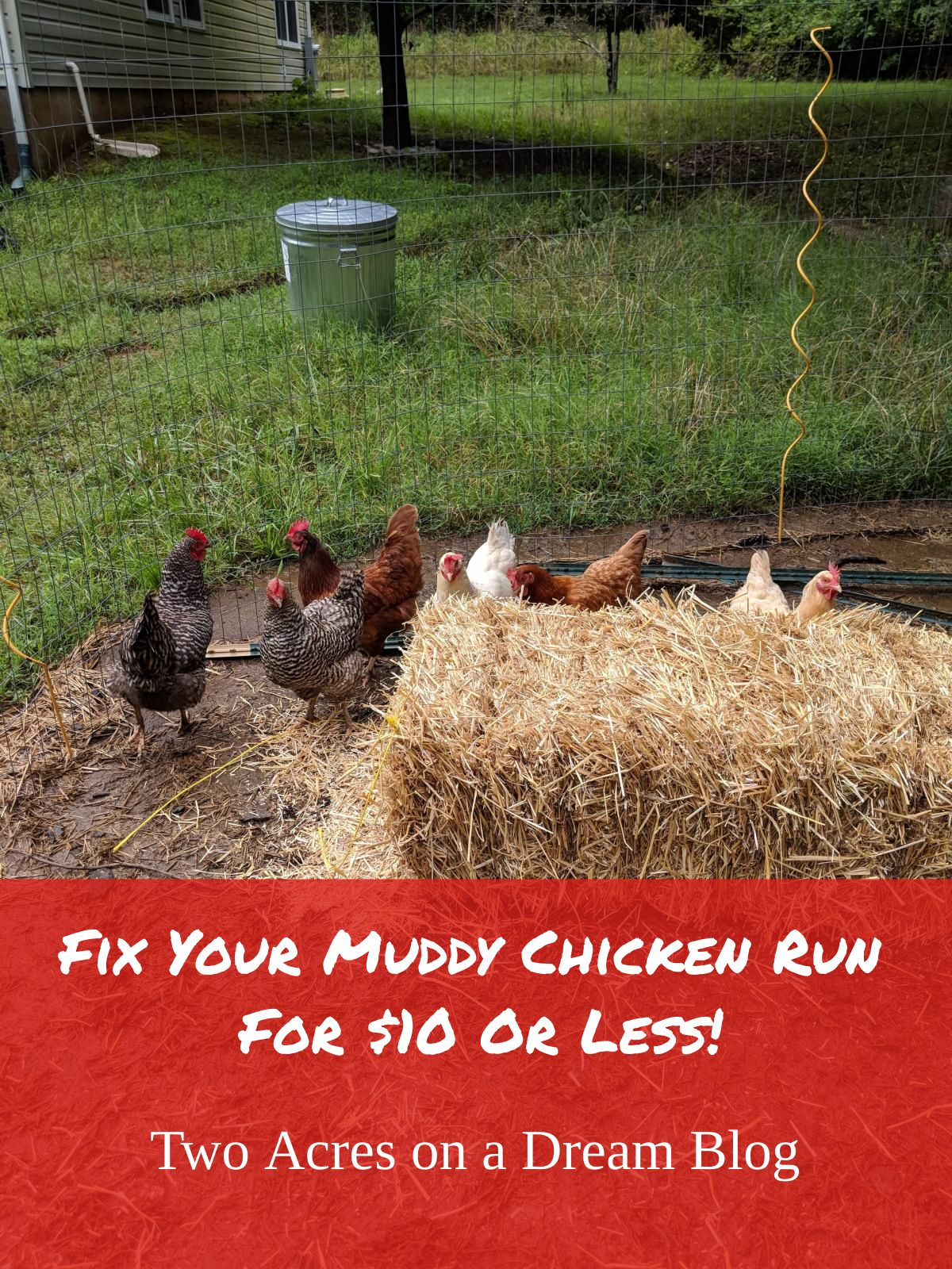 muddy_chicken_run_straw